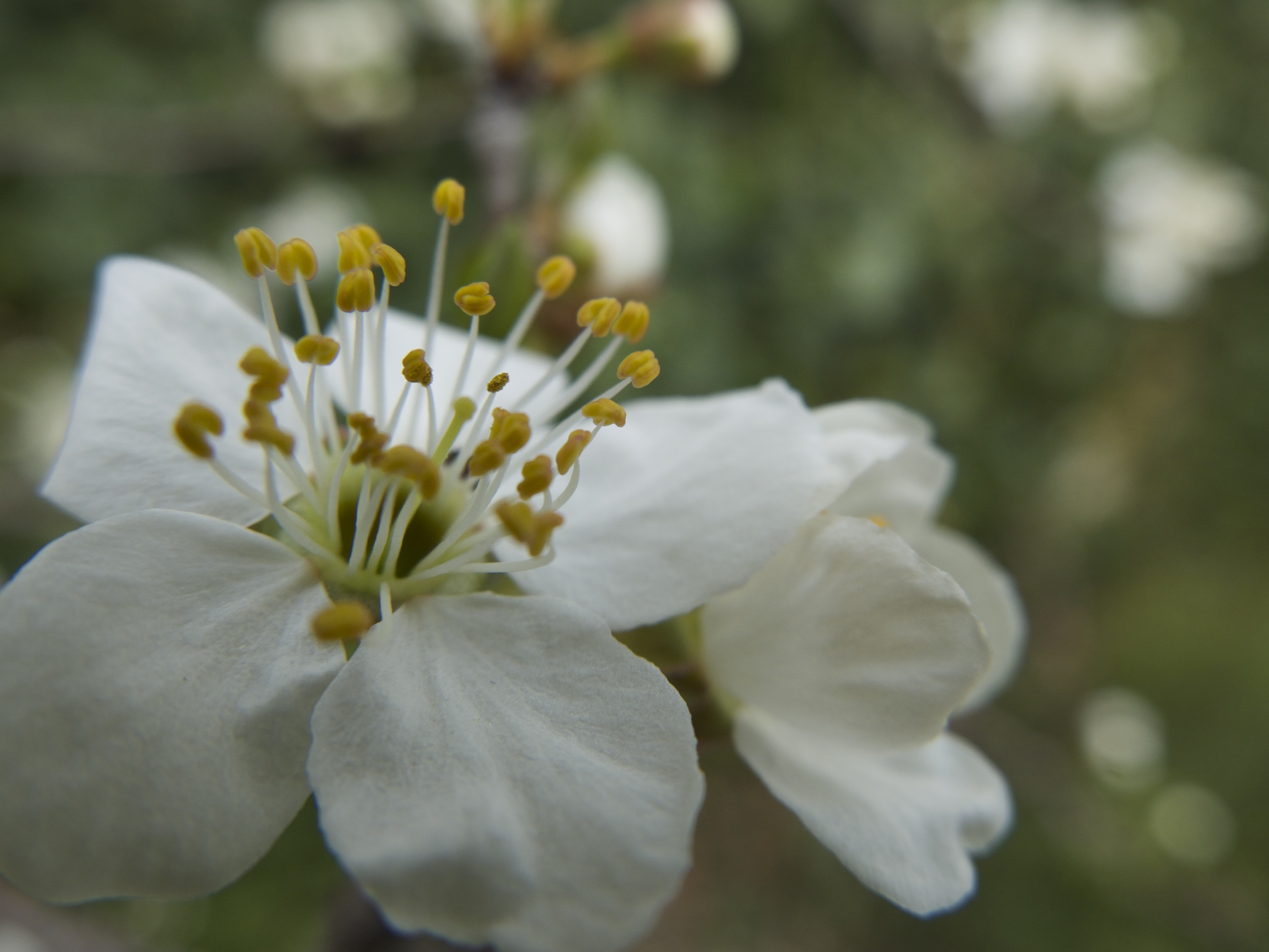 Une fleur de prunier