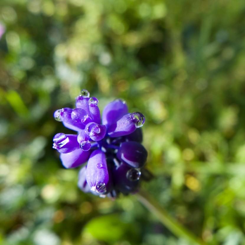 une fleur, gouttes d'eau après la pluie