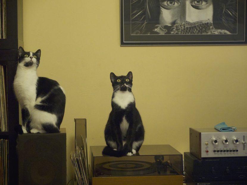les chatons fixent la mouche au plafond