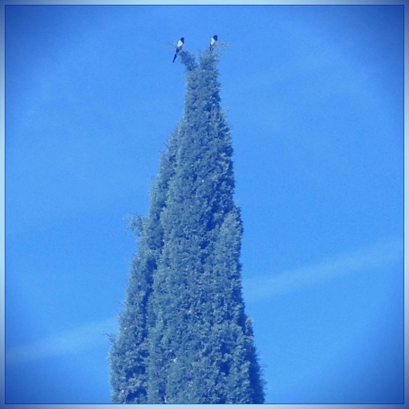 Deux pies au sommet d'un arbre