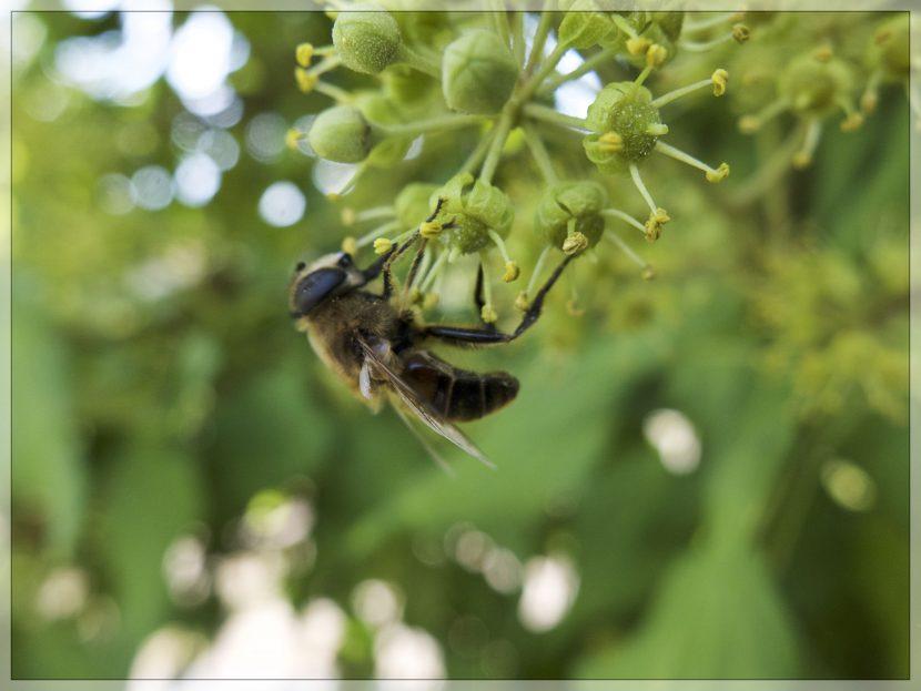 Une abeille (floue) butine