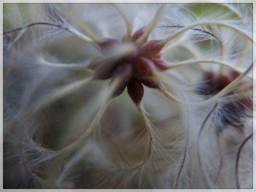 Une fleur vaporeuse !