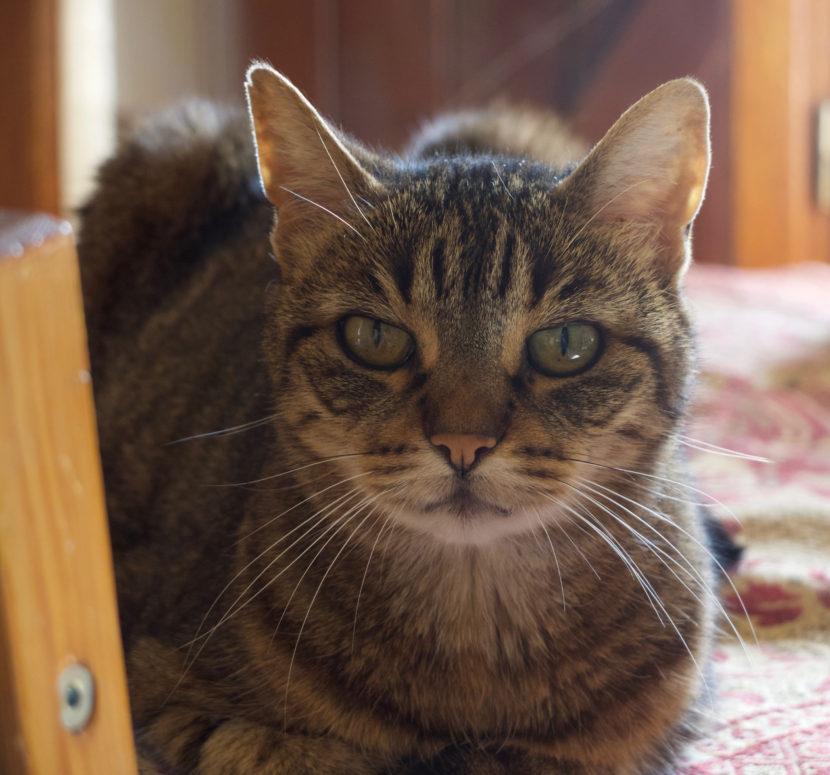 Perle, l'ainée de nos chats.