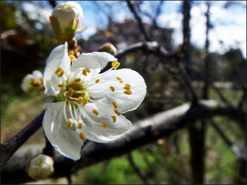 le printemps arrive, fleur de prunier