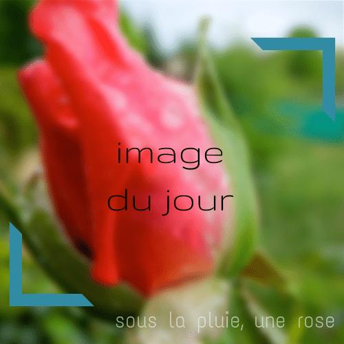 Sous la pluie, une rose